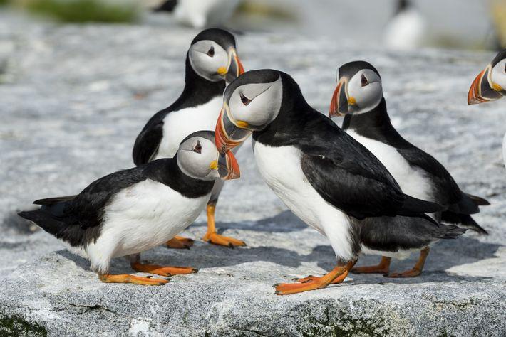 Les puffins sont omniprésents en Terre-Neuve, regroupés par centaines aux différents sites de nidification prisés de ...