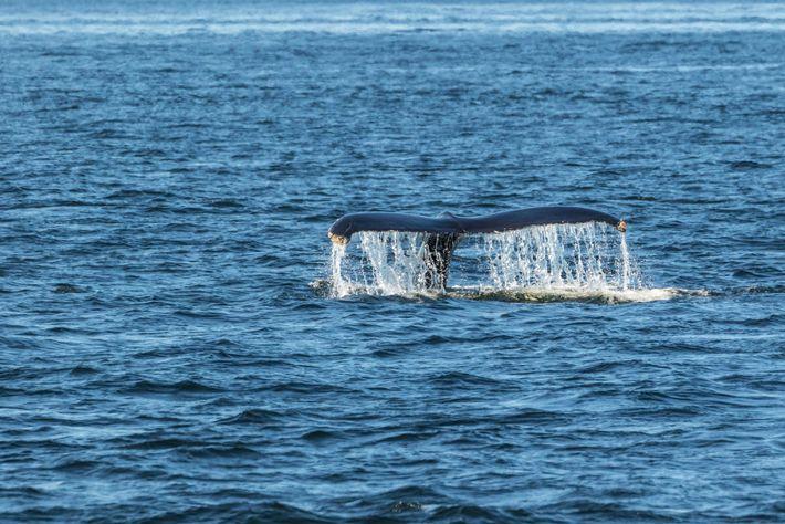 Nageoires d'une baleine à bosse aperçue dans le fleuve Saint-Laurent