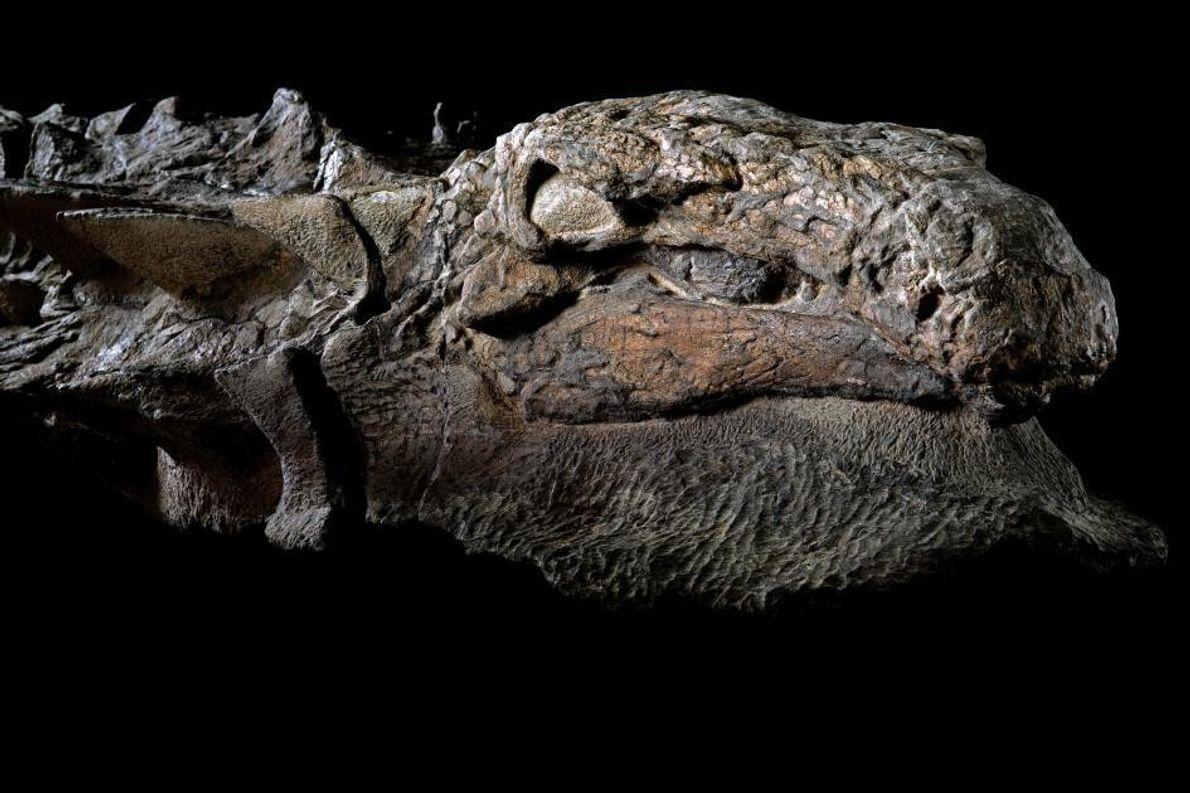 Le côté droit de la tête de ce nodosaure présente encore des plaques caractéristiques semblables à ...