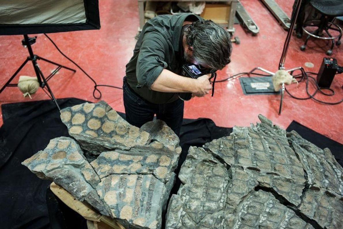 L'un des morceaux du fossile du nodosaure se divise en deux le long de l'armure, révélant ...