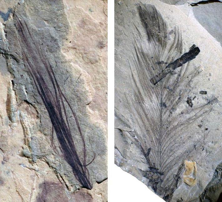 L'ensemble de 10 fossiles de plumes remarquablement conservés découverts sur un site de fouilles australien comprend ...