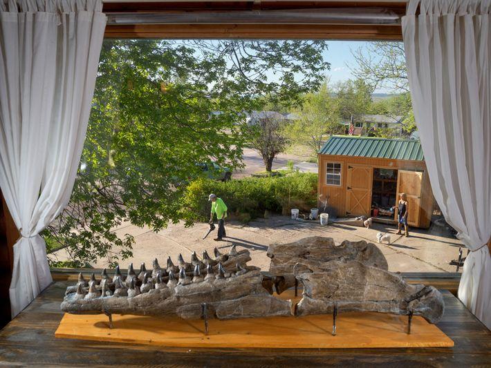 La mâchoire inférieure, longue de 1,5 m, d'une nouvelle espèce de tylosaure est exposée à Edgemont ...