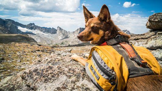 31 chiens aventuriers à la conquête du monde