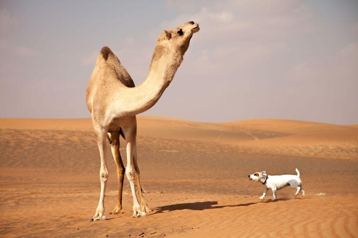 « Yoda, le Jack Russell d'un de nos amis, tente vainement d'effrayer un chameau qu'il juge ...