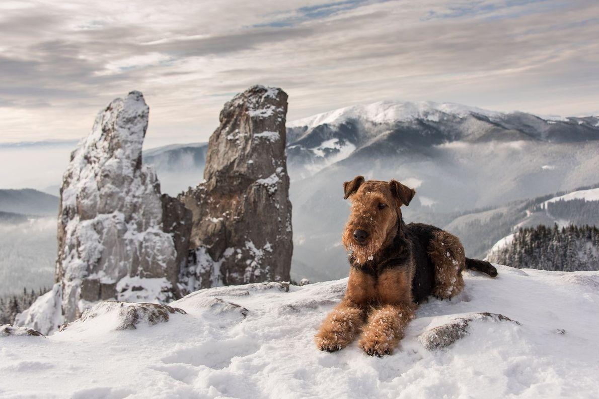 « Mon compagnon, un airedale terrier polisson, couché au sommet d'une montagne pendant l'hiver. » - ...
