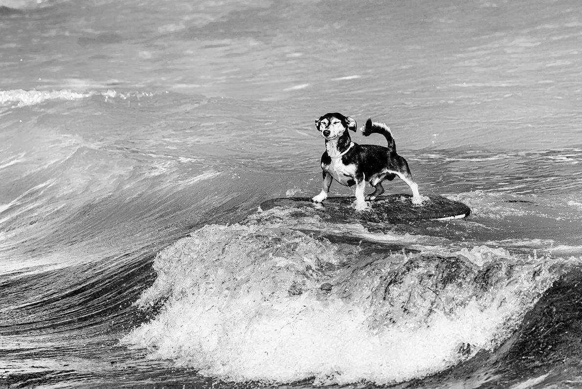 Un chien affronte les vagues avec une fière allure.