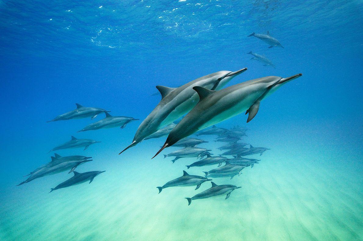 Des Stenella longirostris dans les eaux d'Oahu à Hawaï. La nuit, ces dauphins se nourrissent dans ...