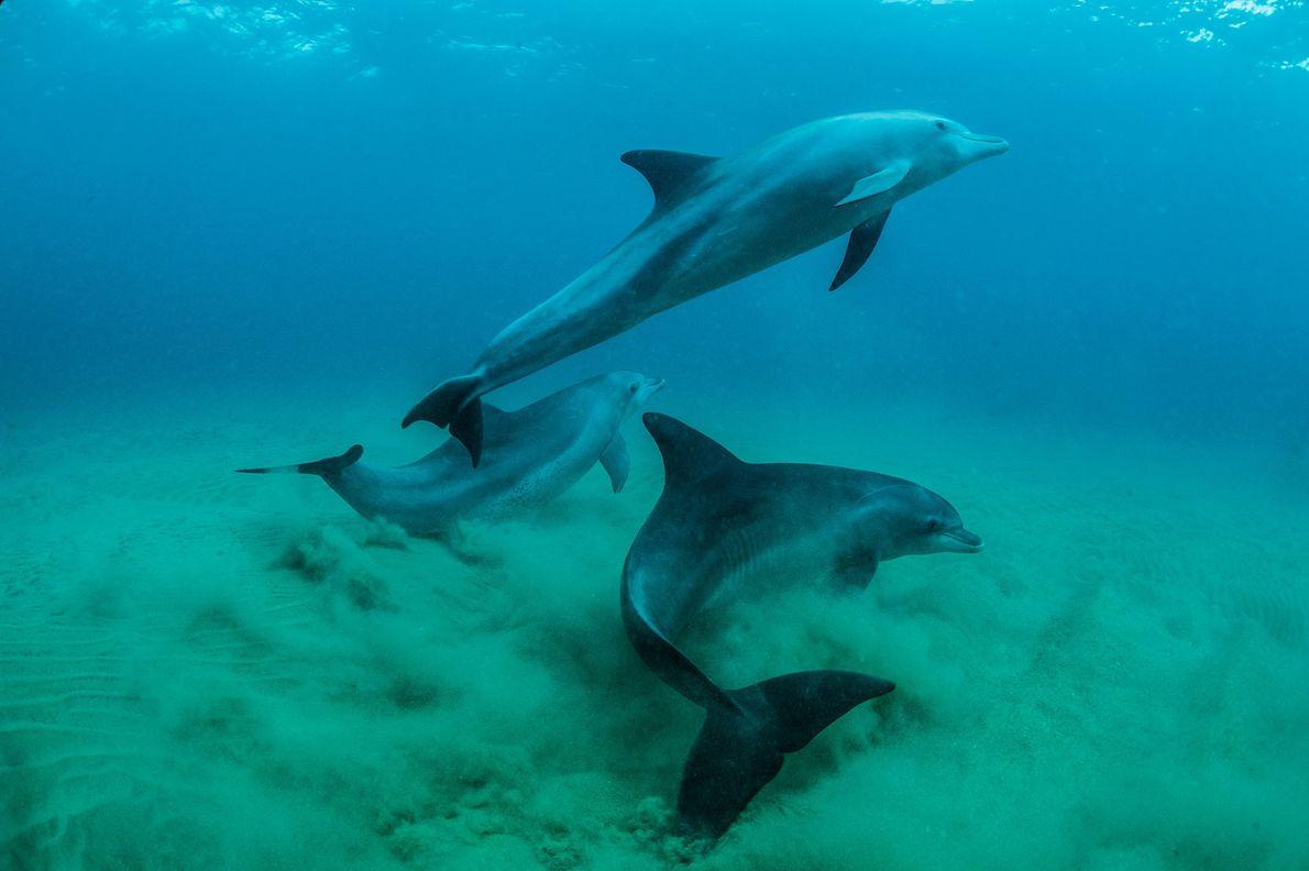 Des Tursiops aduncus dans la réserve marine de Ponta Do Ouro au Mozambique.