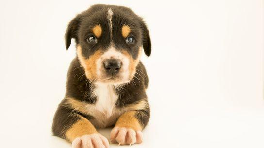 domestic-dog