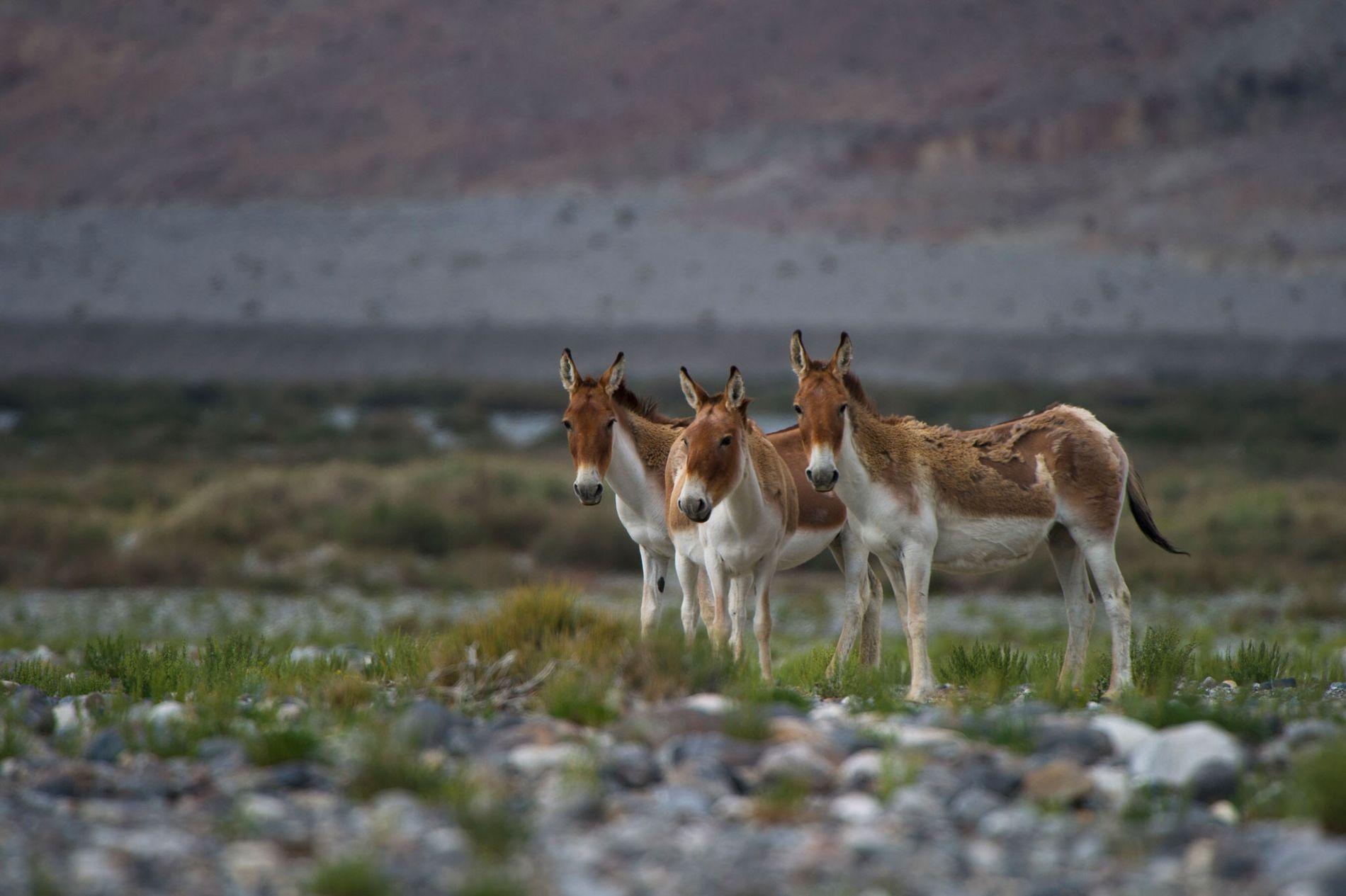 Même si les ânes, comme ceux ci-dessus dans le désert du Taklamakan en Chine, ne sont ...