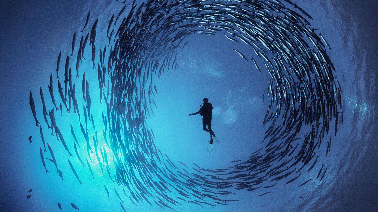 Dinah Halstead nage au milieu d'un banc de barracudas dans la baie de Milne, en Papouasie-Nouvelle-Guinée. ...