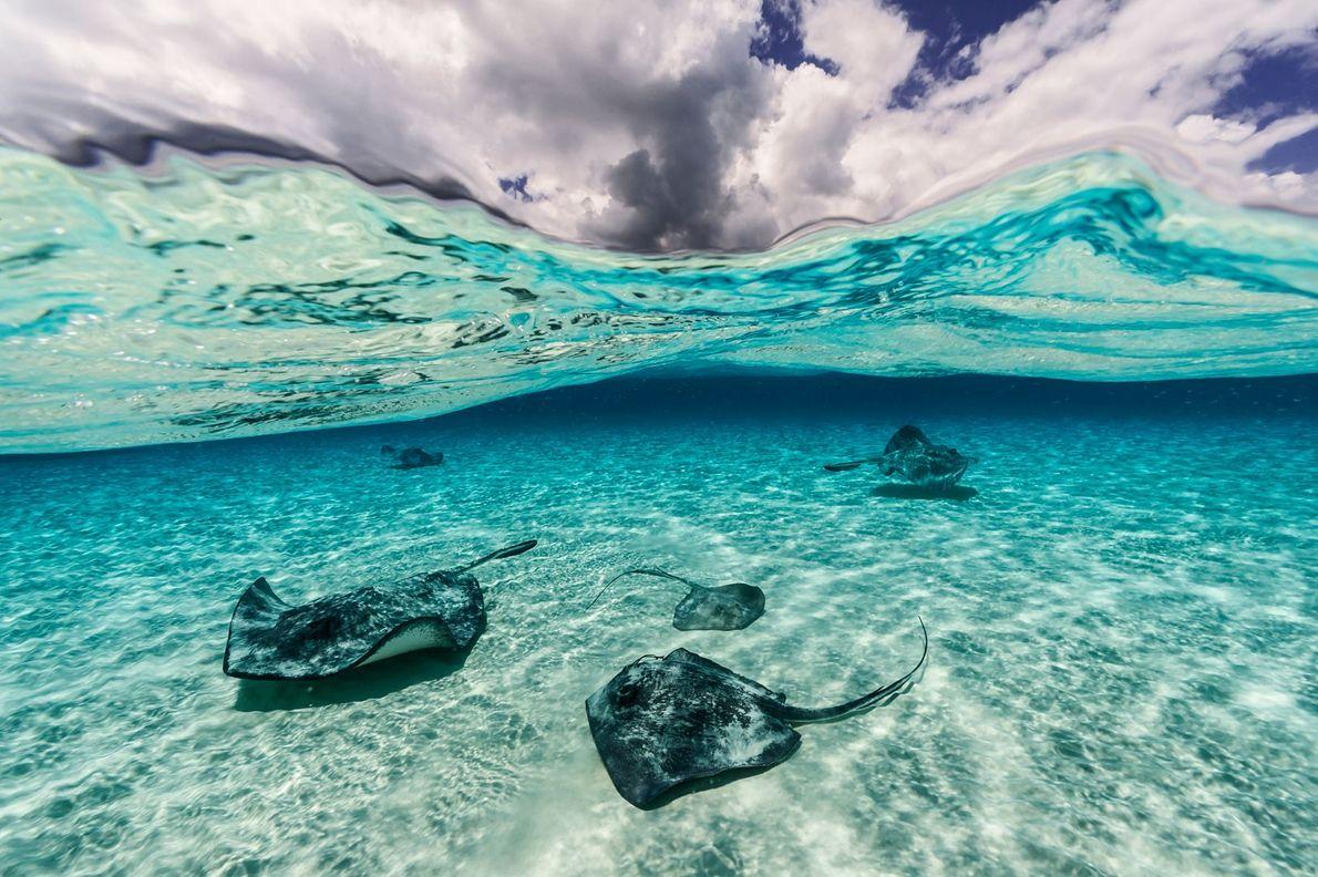 Des raies pastenague américaines nagent dans les eaux peu profondes de Grand Cayman, à North Sound. ...