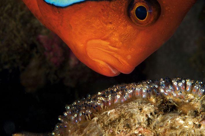 Un poisson-clown mâle protège et veille sur sa progéniture à Anilao, aux Philippines. Il ne cessera ...
