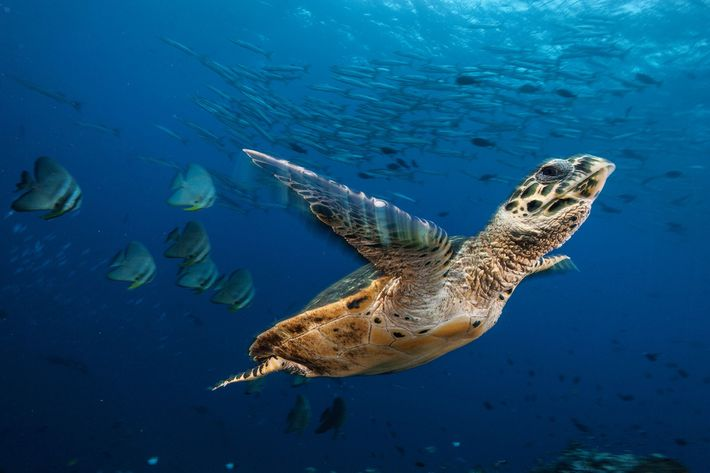 Dans la baie de Kimbe en Papouasie-Nouvelle-Guinée, une tortue imbriquée entame son ascension vers la surface ...
