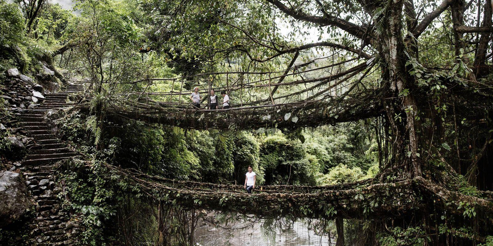 Les ponts de racine vivants de la ''maison des nuages''