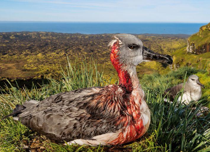 Albatros à tête grise sur l'île sud-africaine de Marion.