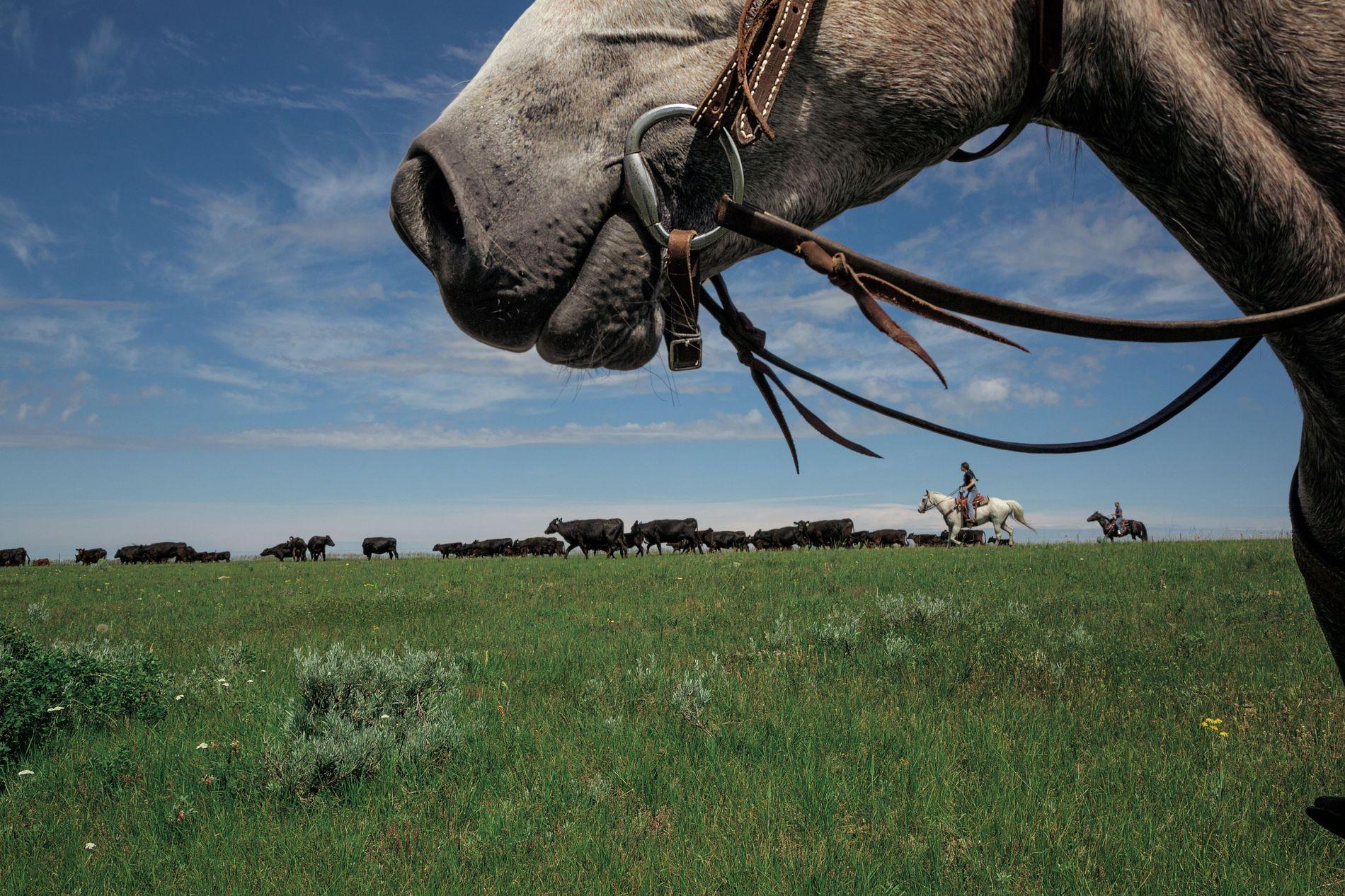 Un projet ambitieux veut rendre aux prairies du centre du Montana leur splendeur sauvage du passé. ...