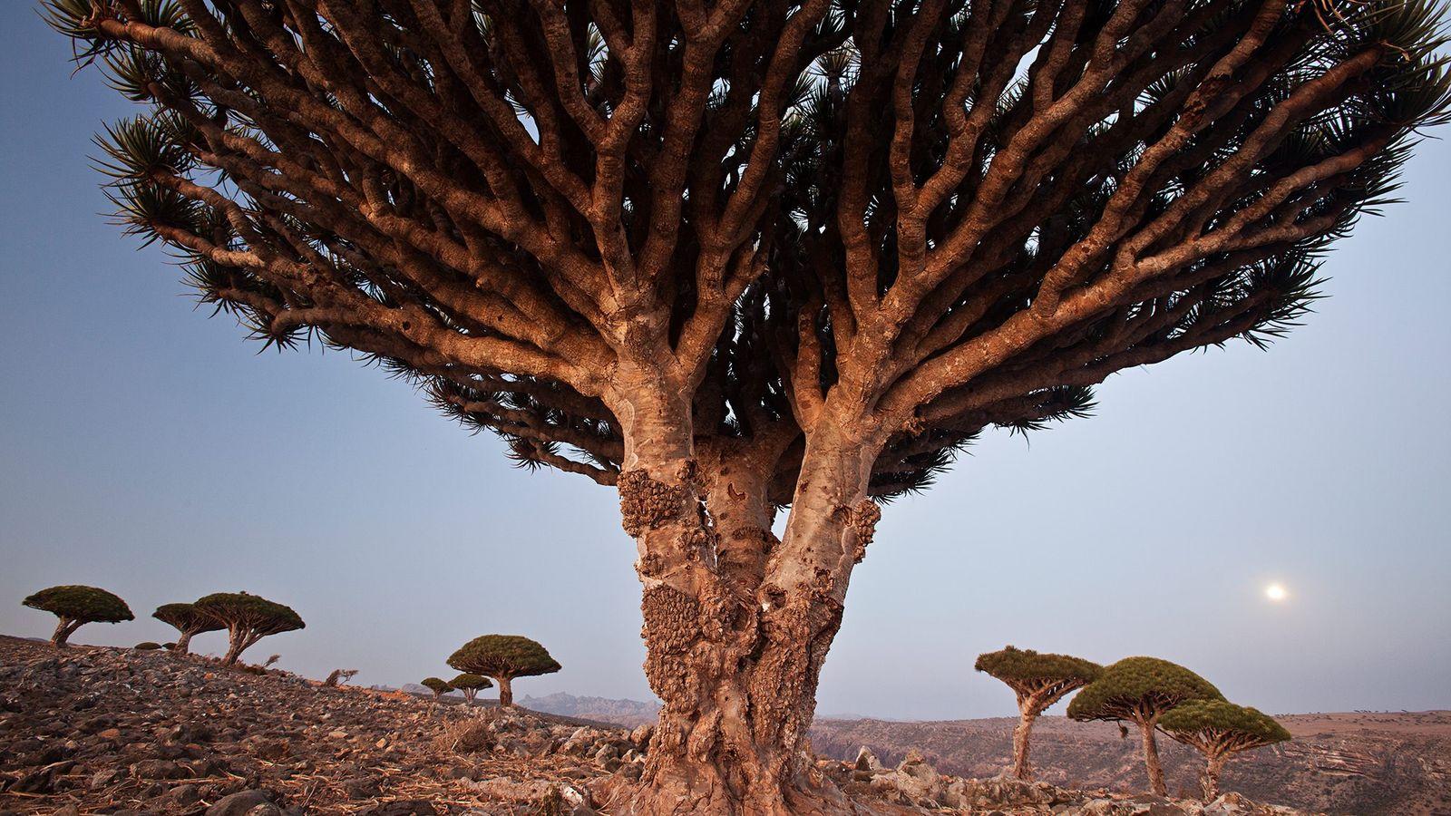 Les dragonniers de Socotra peuvent vivre jusqu'à 1 000 ans et on prête à leur résine ...