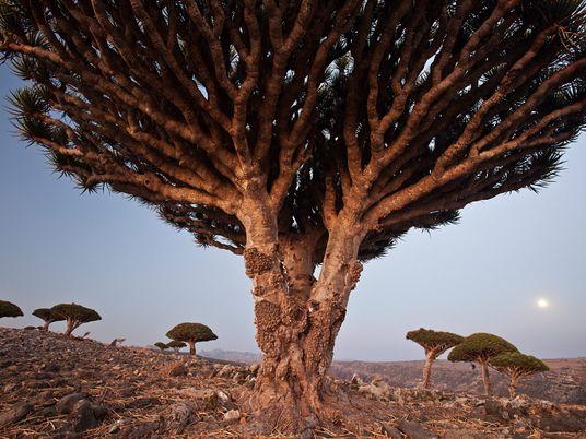 Sur les traces d'un mystique arbre de vie, le dragonnier de Socotra