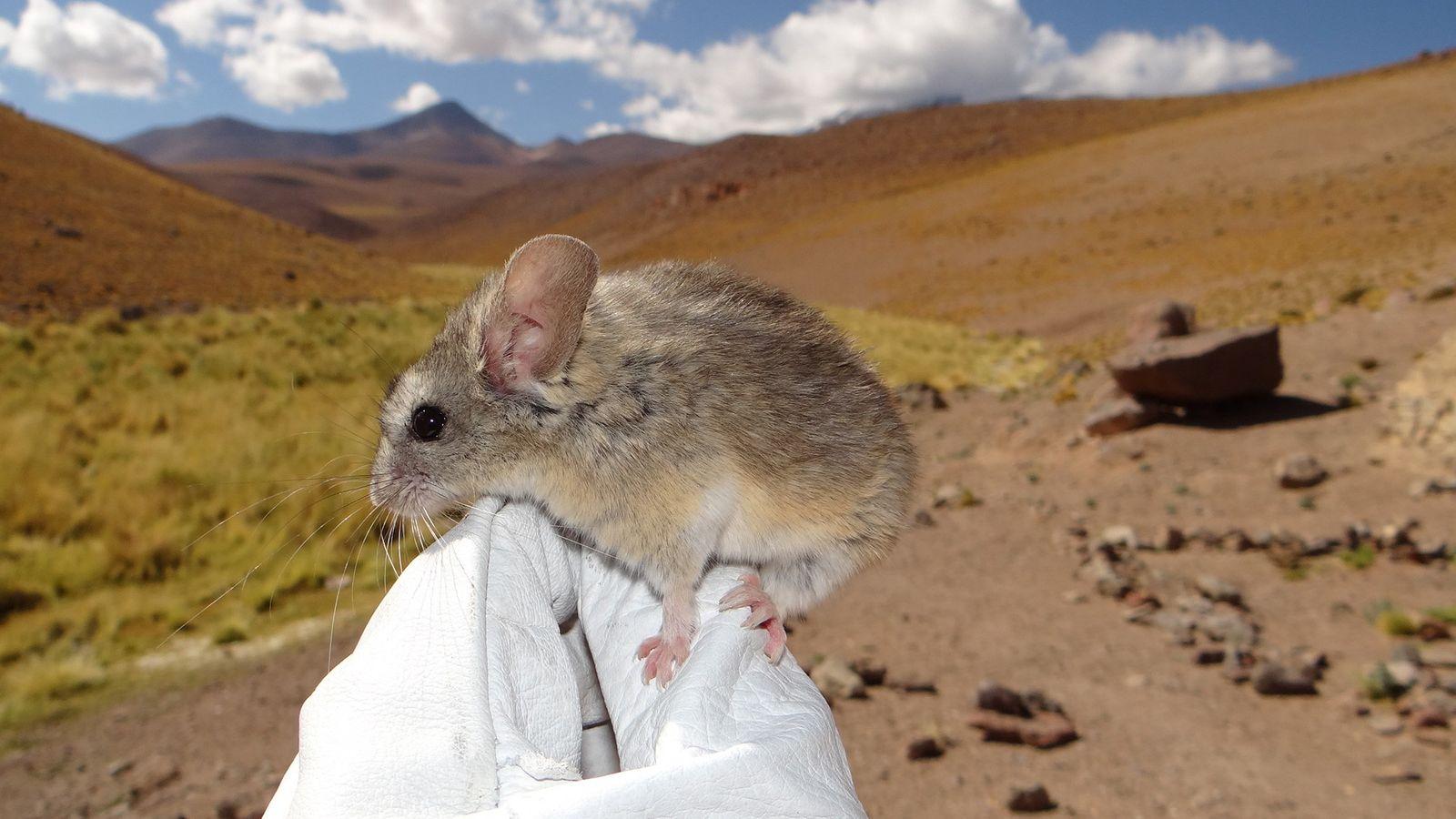 Une souris Phyllotis xanthopygus posée sur le gant d'un chercheur à haute altitude sur les versants ...