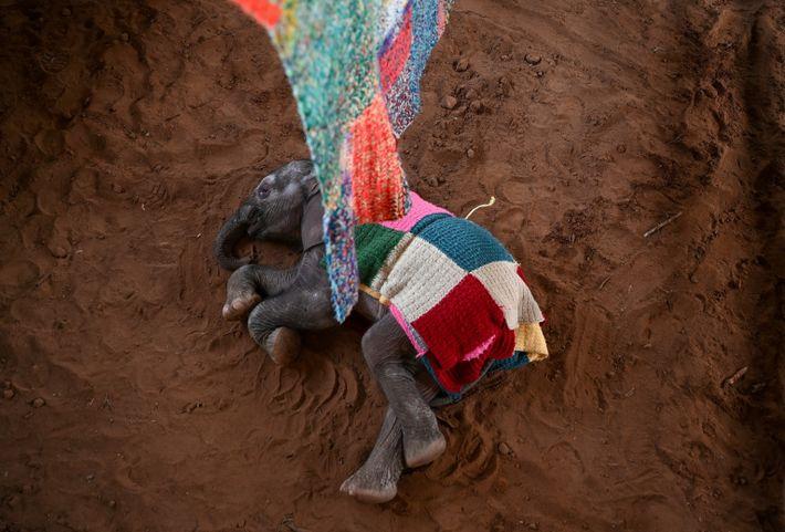 Une couverture tricotée dissimule le cathéter intraveineux qui administre des nutriments à une éléphante abandonnée. Âgée ...