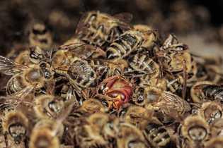 Si un frelon s'approche de la cavité, les abeilles se ruent sur lui et s'agglutinent pour ...