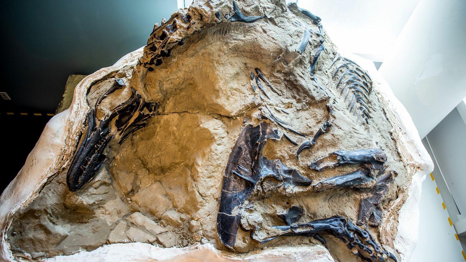 Ce magnifique squelette presque complet d'un tyrannosaure a été découvert en 2006 par des chasseurs de fossiles ...