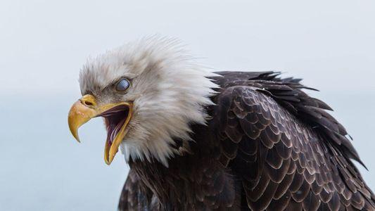 États-Unis : les aigles royaux sont massacrés pour leurs plumes