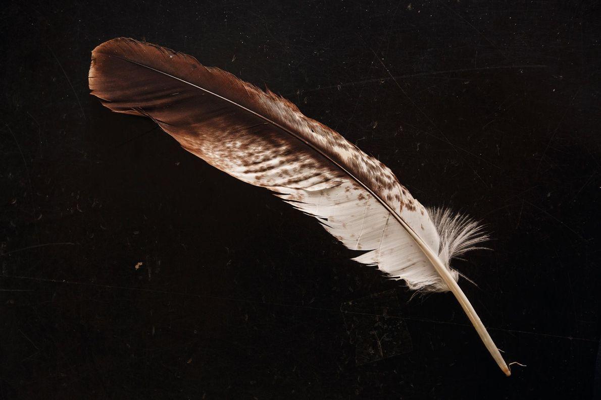 Les plumes des jeunes aigles royaux peuvent atteindre des centaines de dollars sur le marché noir.
