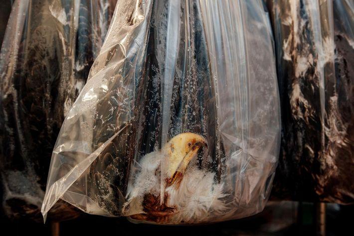 Des sacs contenant des dépouilles de pygargues à tête blanche sont stockés dans un congélateur au ...