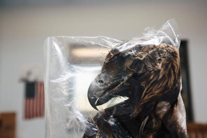 La tête congelée d'un aigle royal attend d'être empaquetée et d'être expédiée à son demandeur. Le ...