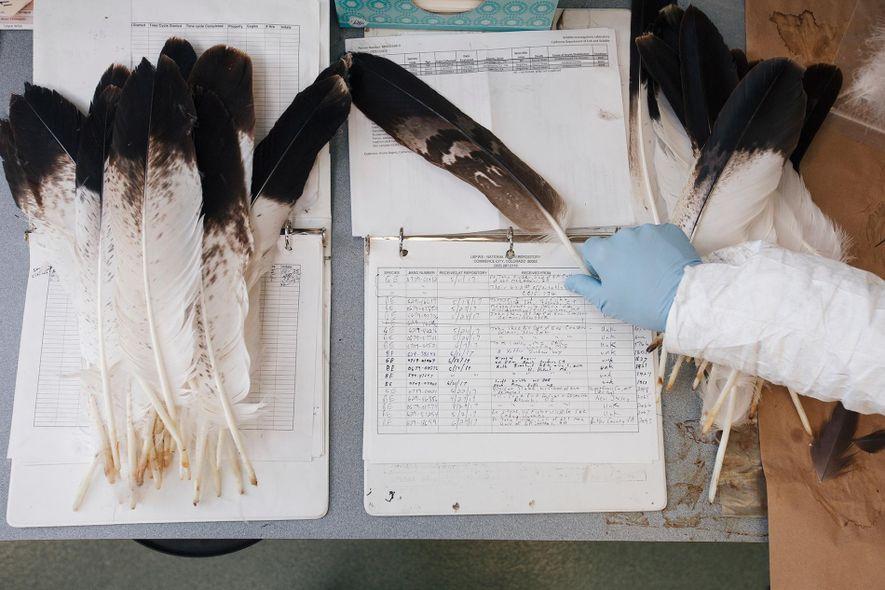 Dennis Wiist trie des plumes d'aigles. Chaque semaine, lui et un autre spécialiste examinent en détail ...