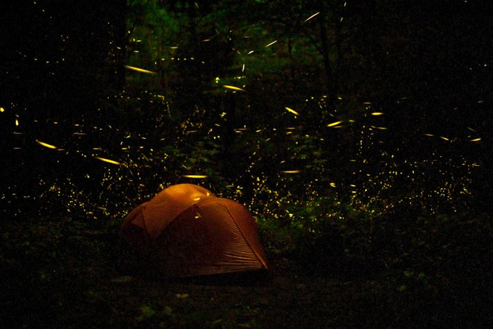 Tent at night surrounded by Fireflies (Photinus carolinus) Great Smoky Mountains National Park Tennessee USA June ...