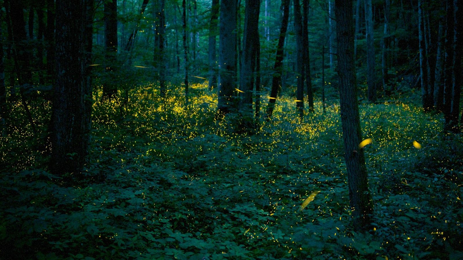 Syncronous Fireflies (Photinus carolinus) illuminate the lush forests Smoky Mountains National Park Tennesse USA July