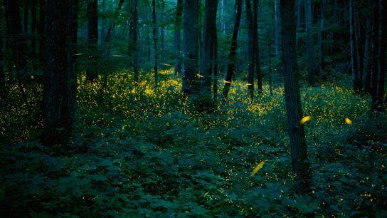Syncronous Fireflies (Photinus carolinus) illuminate the lush forests Smoky Mountains National Park Tennesse USA July