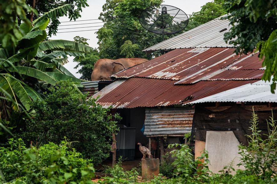 À Ban Ta Klang, les éléphants vivent parmi les habitants. La plupart sont enchaînés à l'extérieur ...