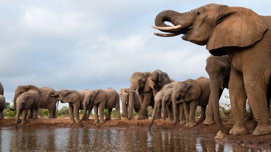 Au cours des derniers mois, des centaines d'éléphants ont trouvé la mort dans des conditions mystérieuses ...