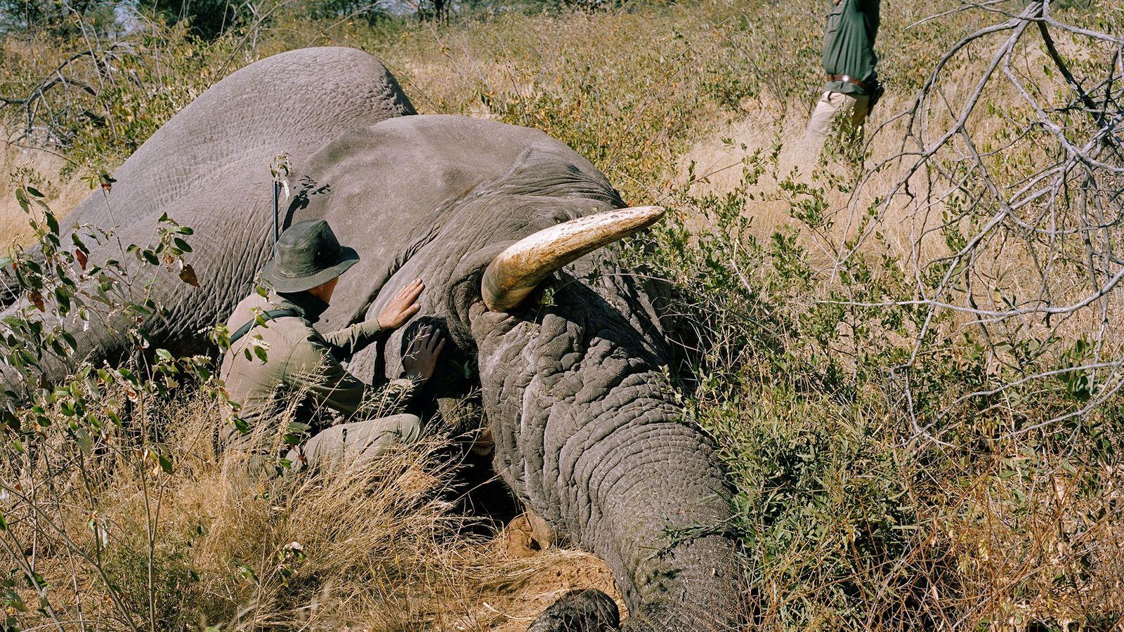 Un chasseur allemand vient d'abattre un vieil éléphant mâle en Namibie. Le débat concernant la chasse ...