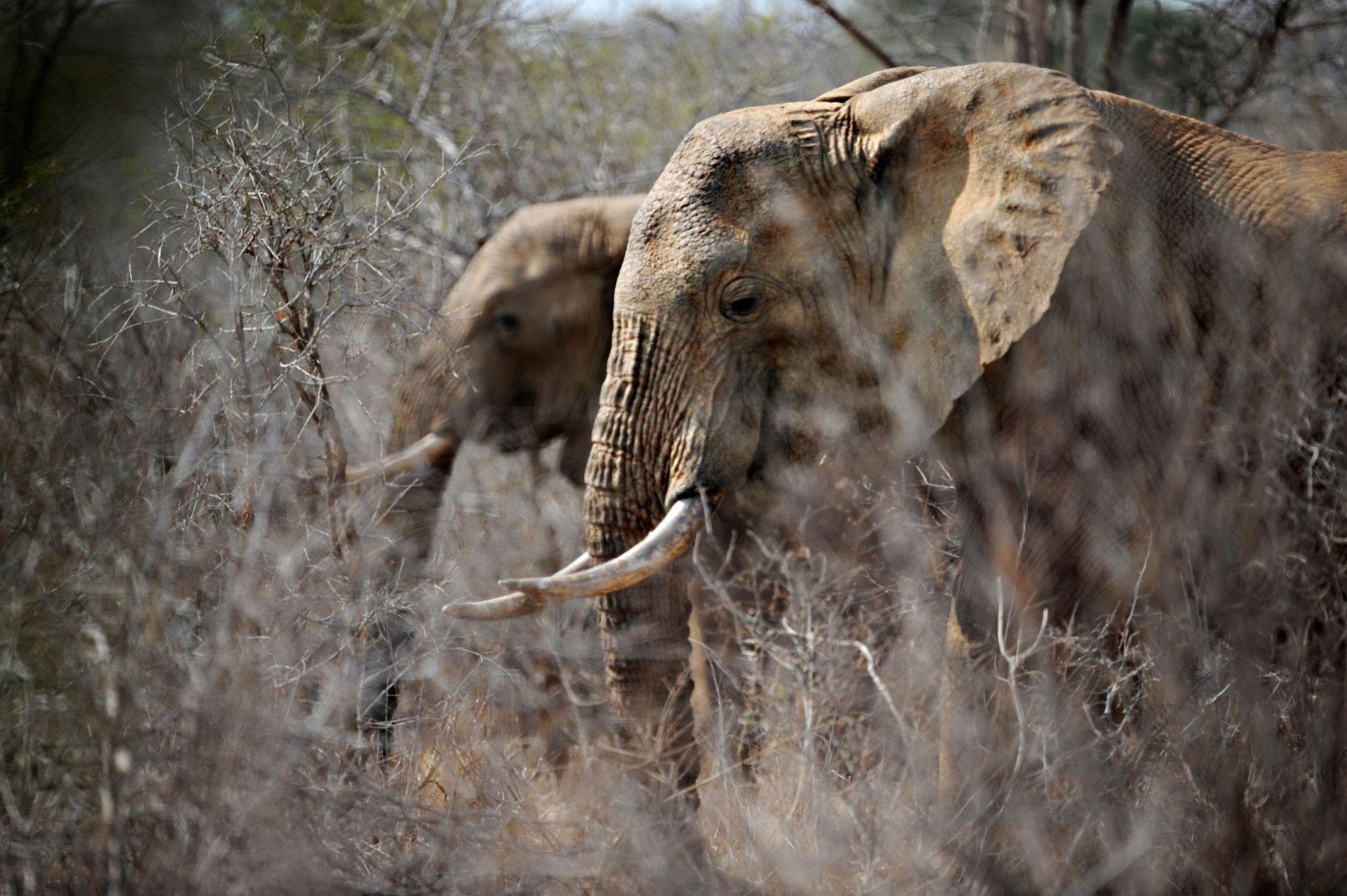 Les États-Unis n'autoriseraient finalement pas l'importation de trophées d'éléphants