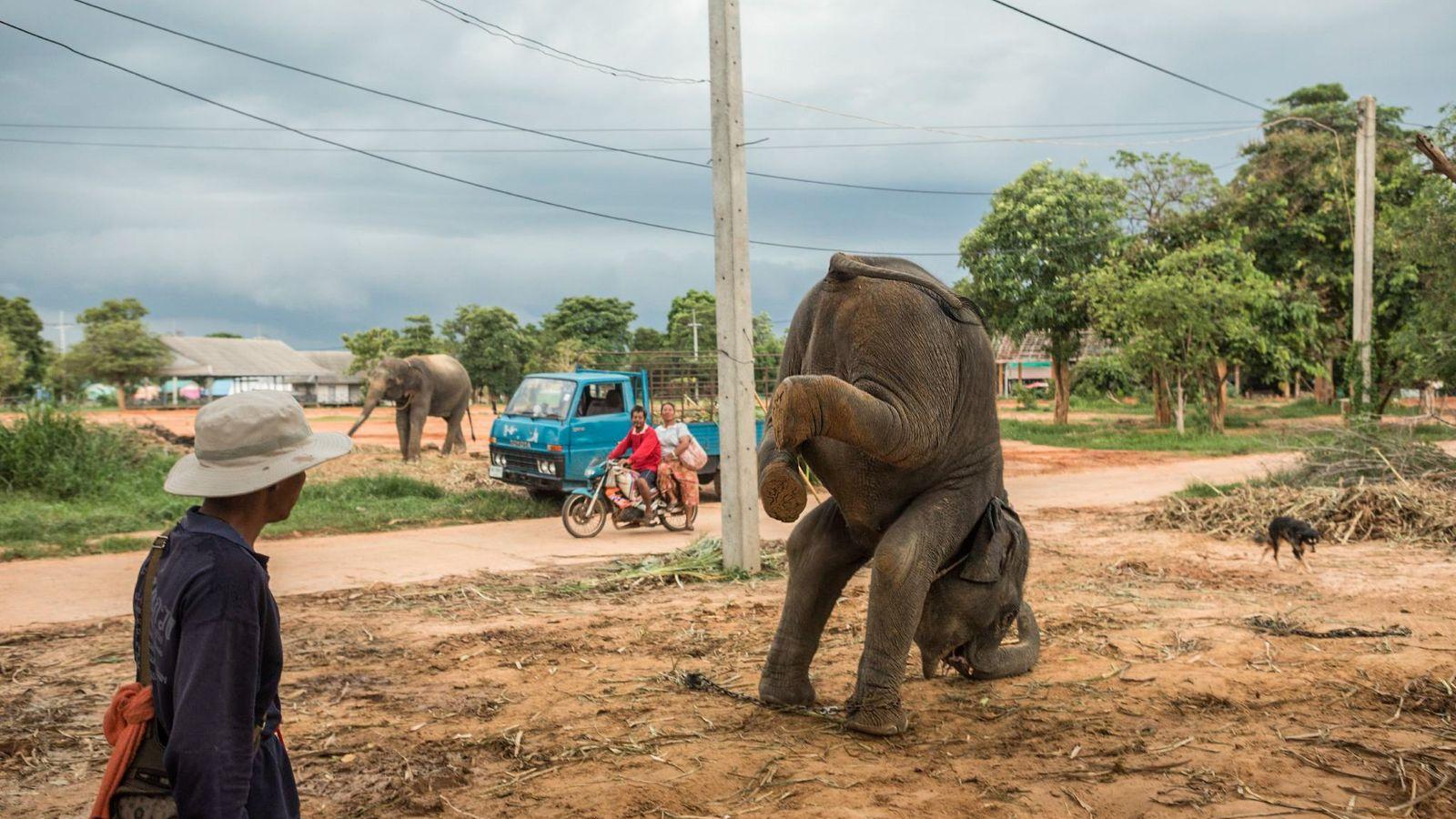 Un mahout ordonne à un jeune éléphant de faire le poirier. Une fois qu'un mahout est ...