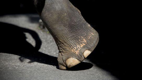 Le nombre d'éléphants vivant en captivité pour satisfaire les touristes visitant la Thaïlande a augmenté de ...