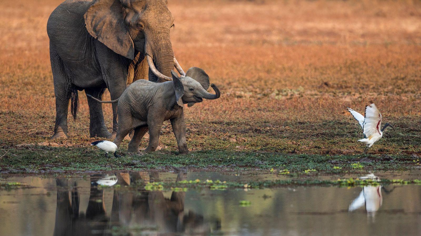 Un bébé éléphant poursuit un ibis sacré en bordure du lagon Chindeni.