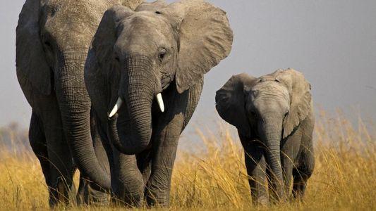 Les éléphantes, mamans les plus intimidantes du règne animal