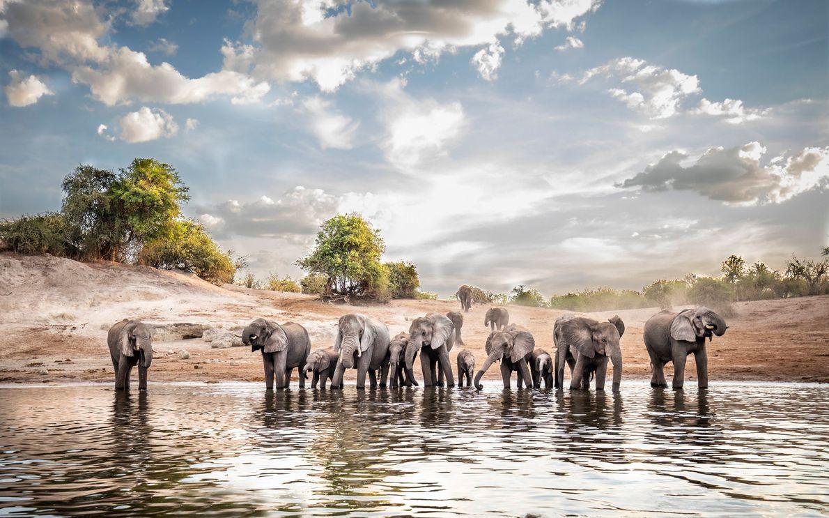 Impatients, des éléphants se précipitent sur les bords de la rivière Chobe pour s'abreuver pendant la ...