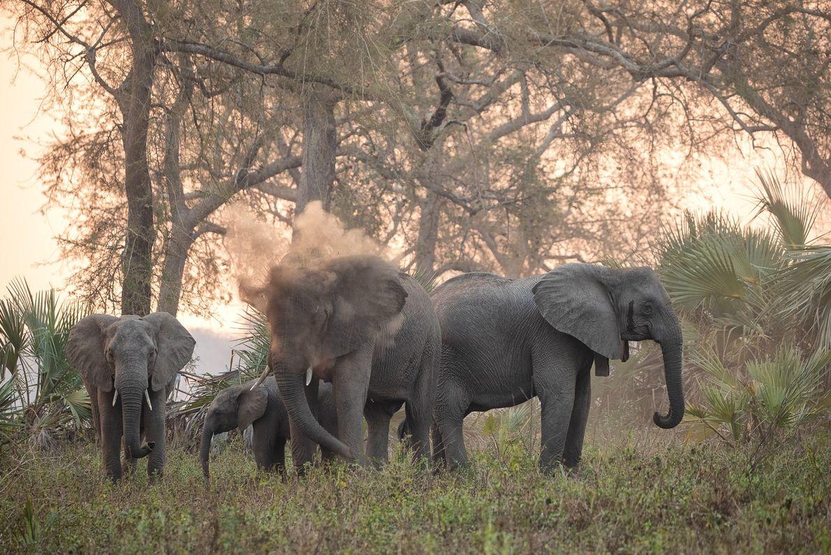 Une famille d'éléphants dans le parc national de Gorongosa, au Mozambique. Comme d'autres animaux, ces pachydermes ...