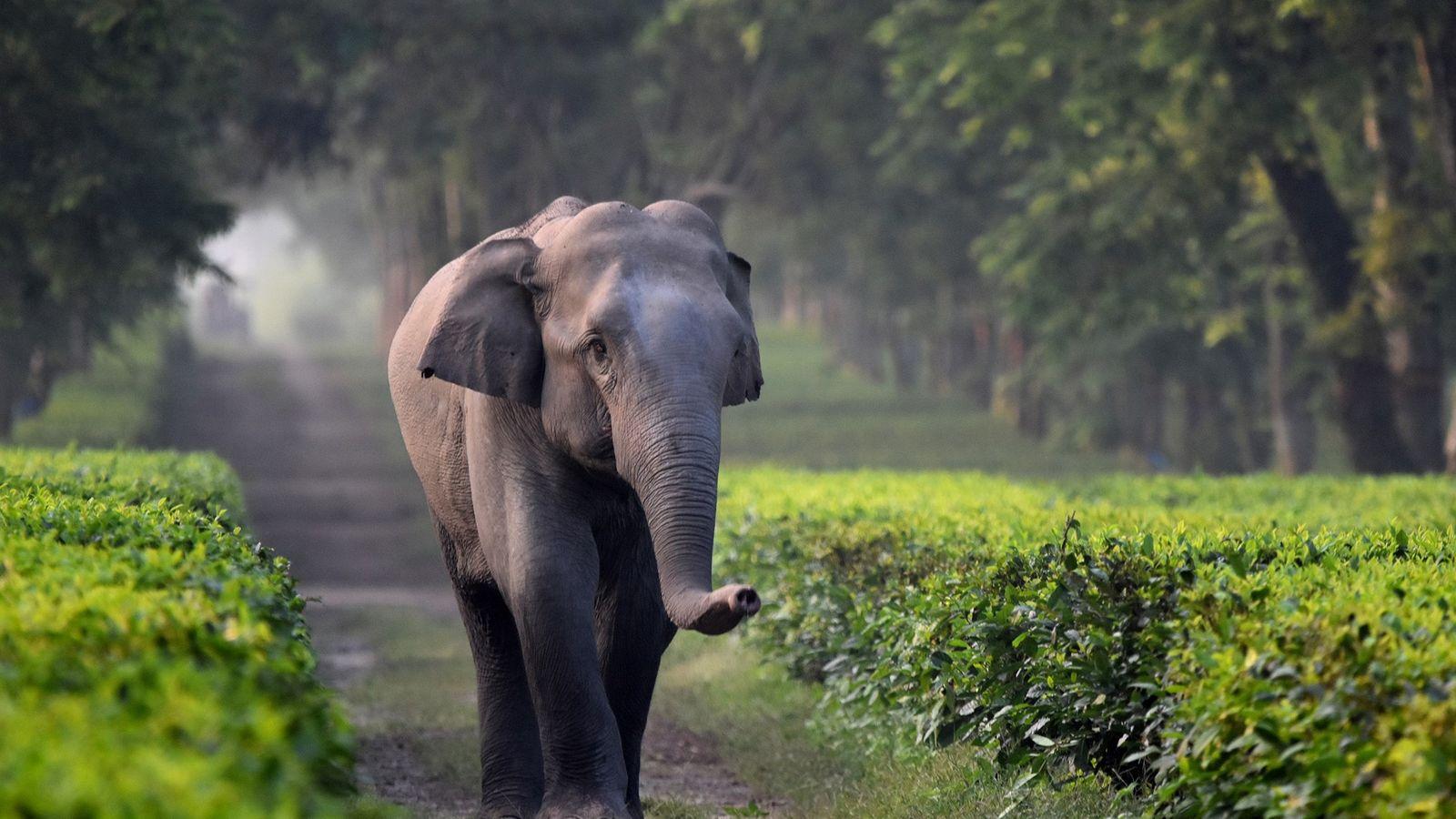 Pour les éléphants adultes, les fossés de drainage des plantations de thé ne constituent généralement pas ...