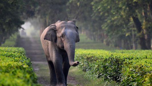 En Inde, les éléphants sont victimes des plantations de thé