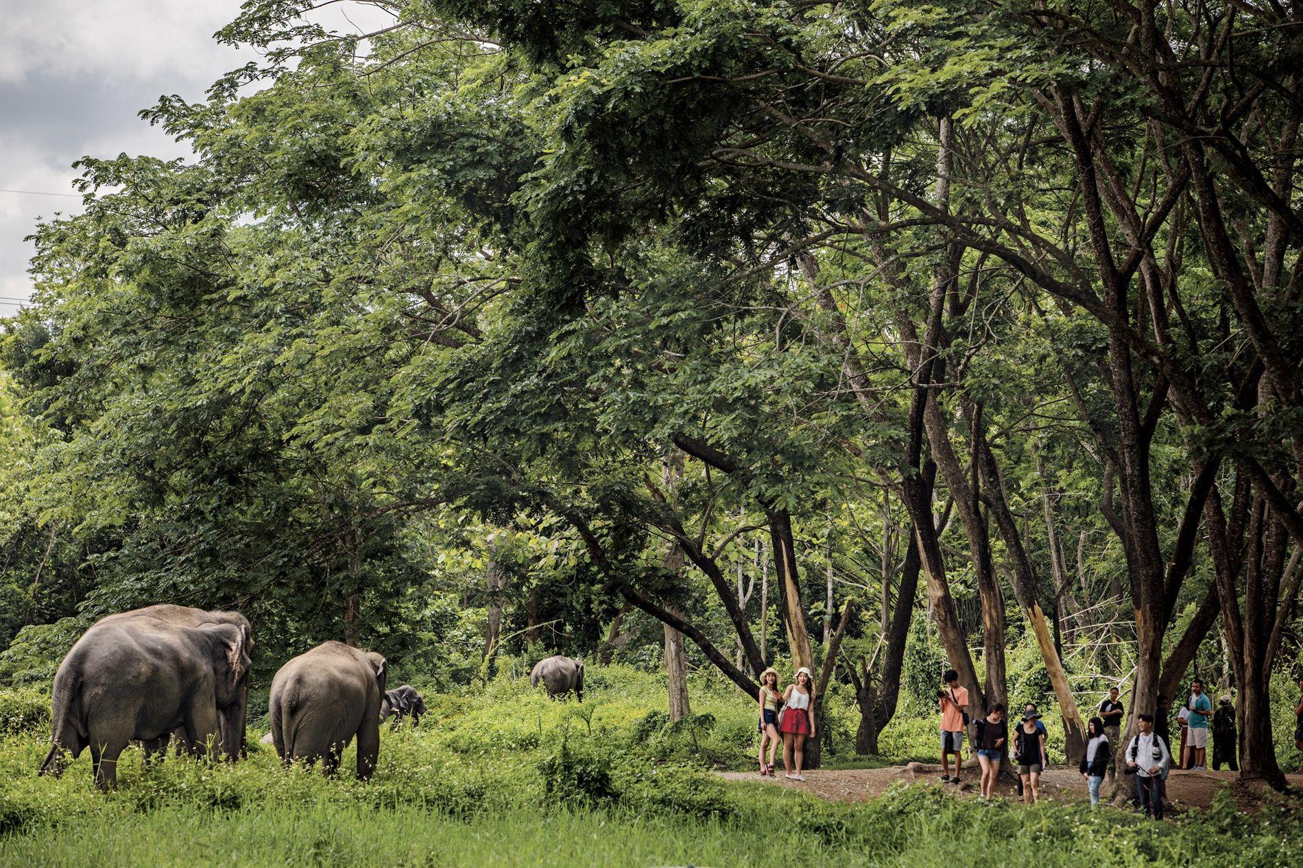 Sur le domaine d'Elephant Valley Thailand, en bordure de Chiang Rai, les touristes observent les animaux ...