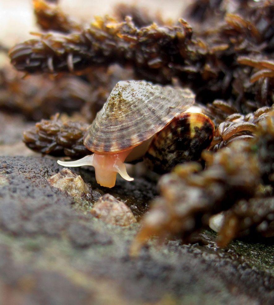 Les patelles se nourrissent essentiellement d'algues et de micro-algues. Leur action permet la préservation de l'équilibre ...