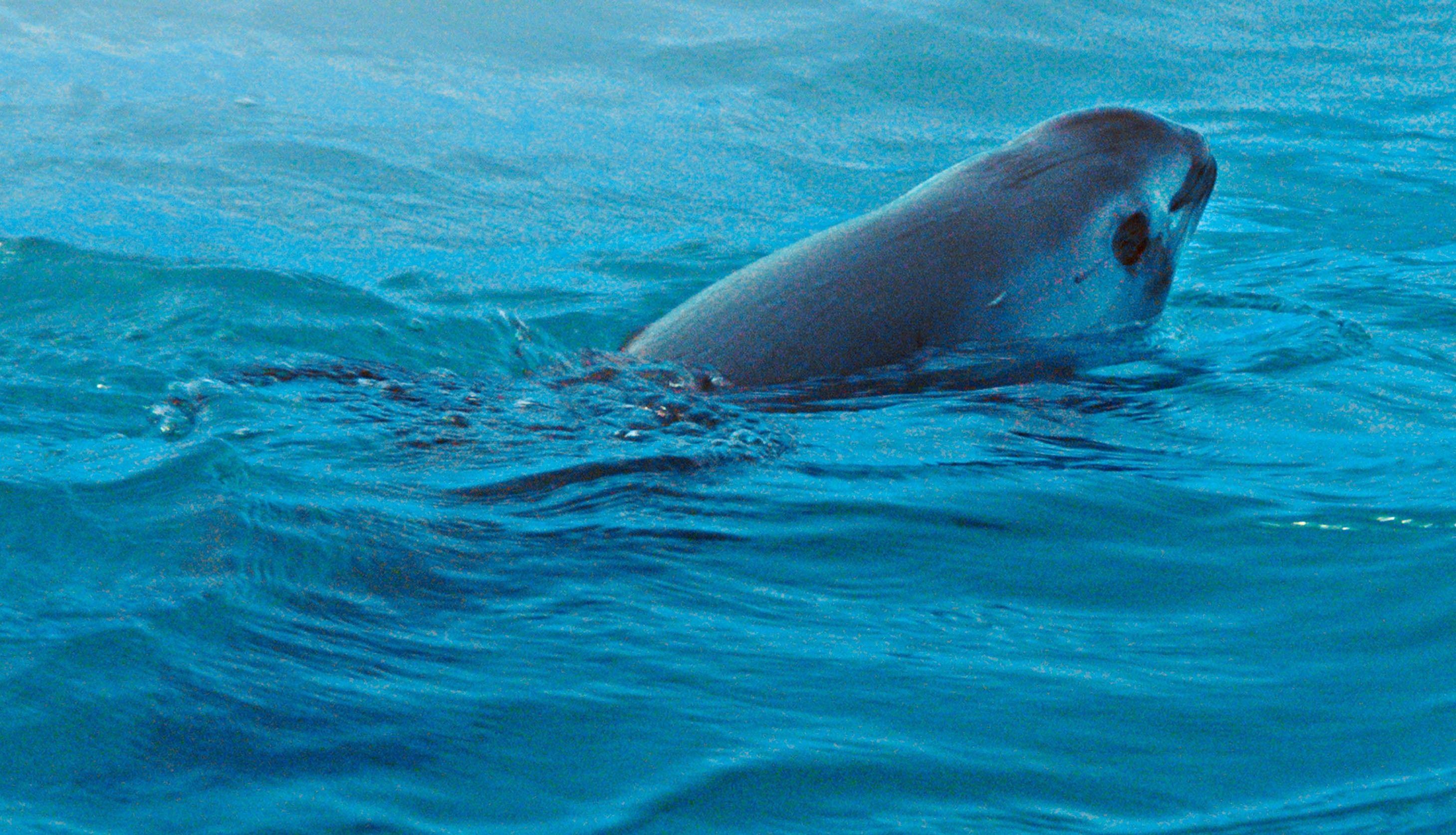 Le marsouin du Pacifique est au bord de l'extinction